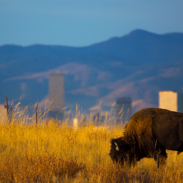"""American Bison And Denver Skyline"" stock image"