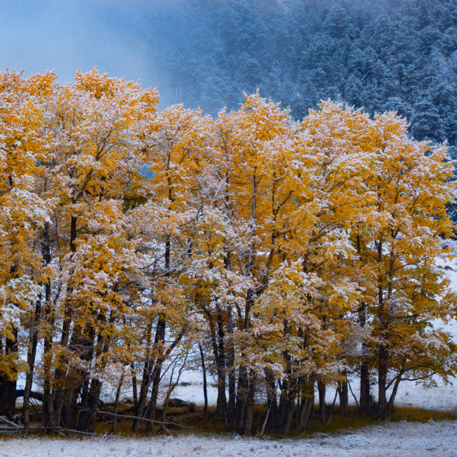"""""""Fall Trees and Snow In Colorado"""" stock image"""