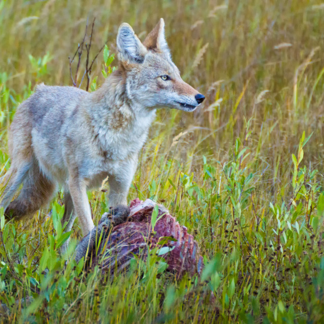 """Coyote Feeding On Elk"" stock image"