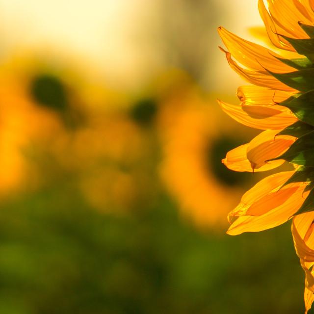 """Golden Flowers"" stock image"