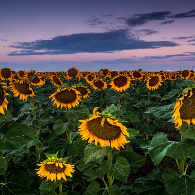 """Sunflowers Before Dawn"" stock image"