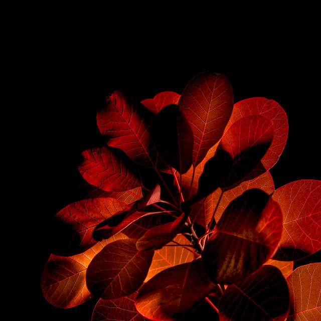 """Smoke Bush"" stock image"