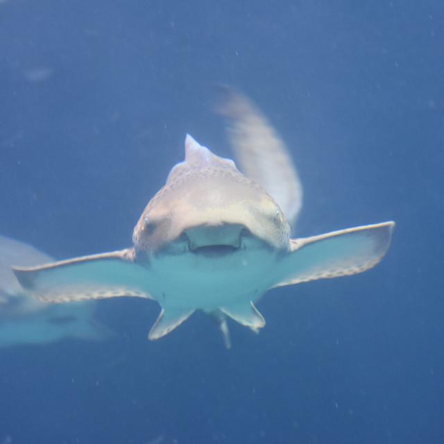 """Leopard Shark"" stock image"