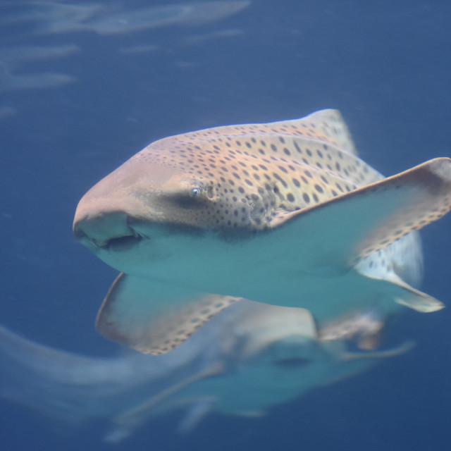 """Leopard Shark 2"" stock image"