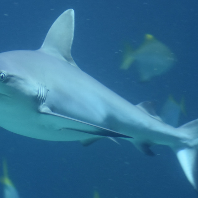 """Black Tip Reef Shark 1"" stock image"