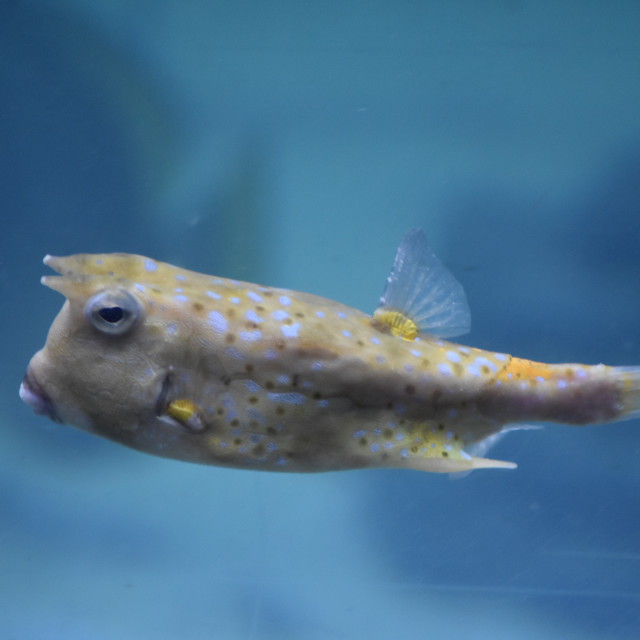 """Long-Horned Cowfish"" stock image"