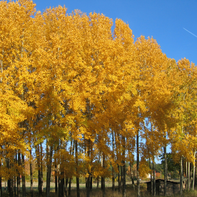 """Autumn aspen trees"" stock image"