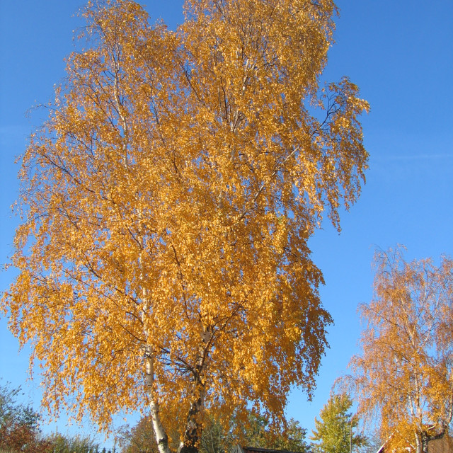 """Autumn birch tree in Sweden"" stock image"