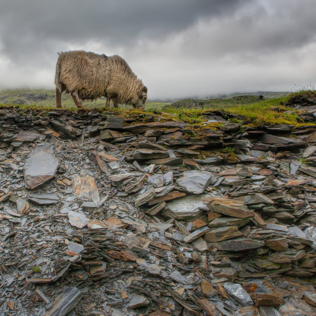 """Lamb and Slate in Snowdon"" stock image"