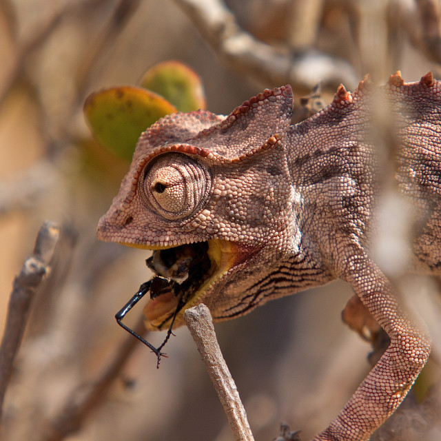 """Chameleon eating a bug"" stock image"