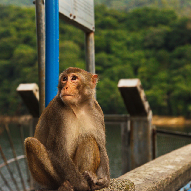 """Monkey Mountain - Gazing"" stock image"