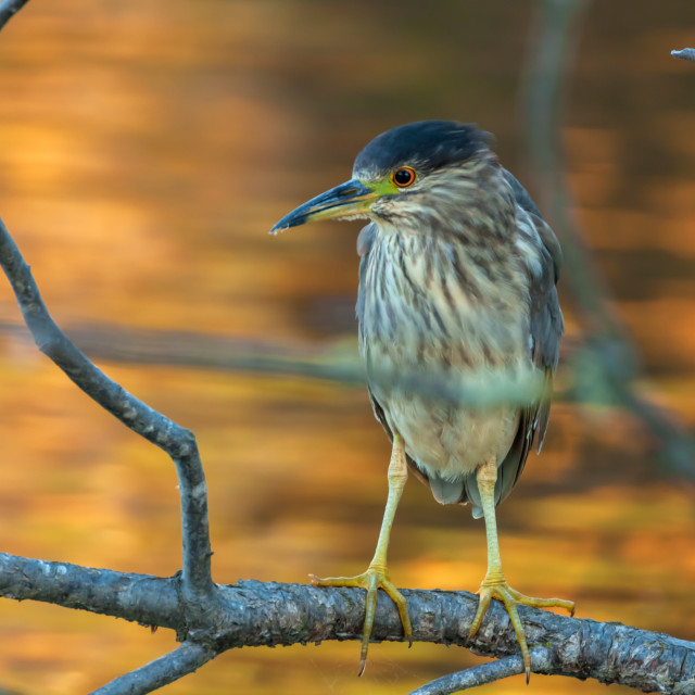 """Black-crowned Night Heron (Nycticorax nycticorax)"" stock image"