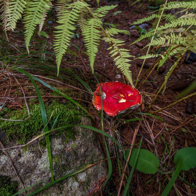 """Poisonous mushroom Amanita,top view."" stock image"