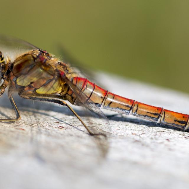 """""""sunbathing dragonfly"""" stock image"""