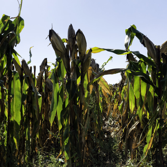 """Field of Sweetcorn."" stock image"