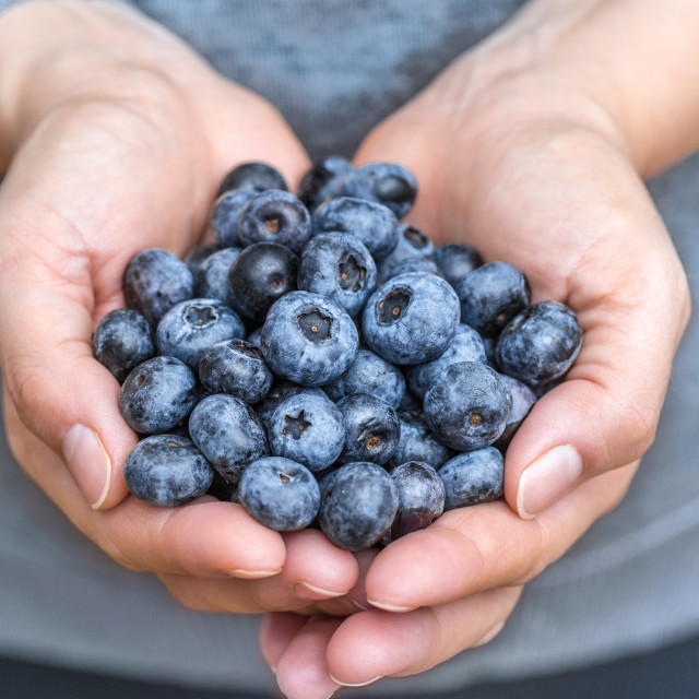 """Blueberries blue berries fruits fresh presented in woman hands with soft vivid colors close up detailed macro. Concept for healthy vegan vegetarian lifestyle."" stock image"