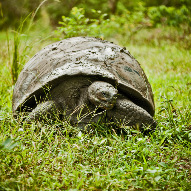 """Giant Galapagos Tortoise 3"" stock image"