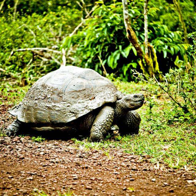 """Giant Galapagos Tortoise 1"" stock image"