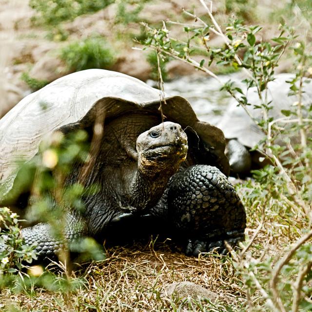 """Giant Galapagos Tortoise 6"" stock image"
