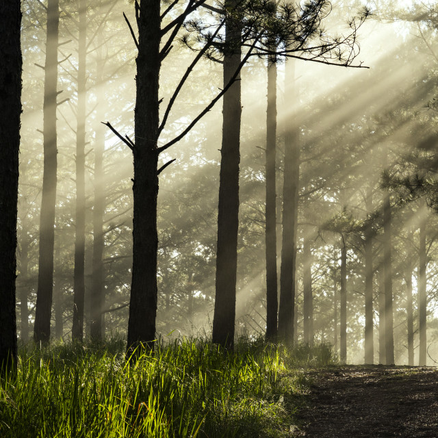 """Ray through the pine forest"" stock image"