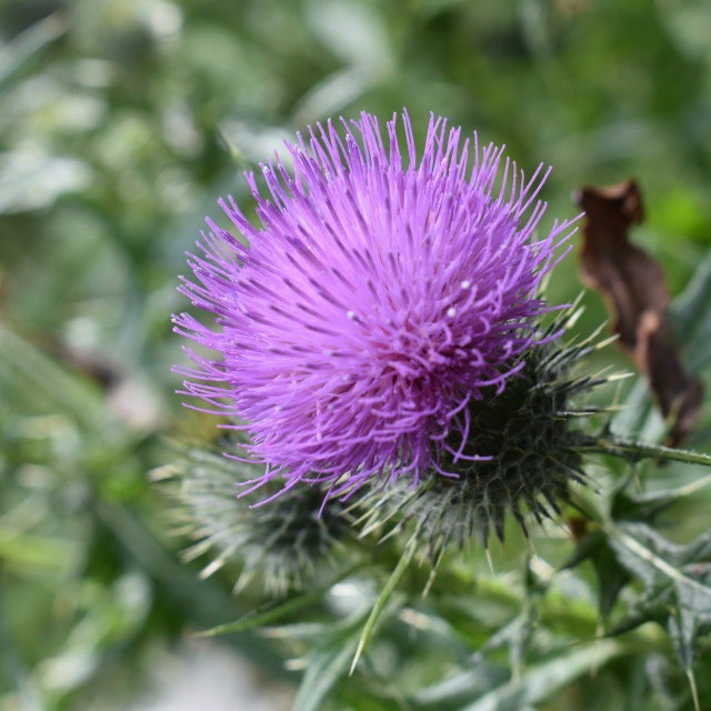 """Thistle 2"" stock image"