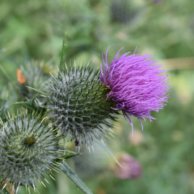 """Thistle 1"" stock image"