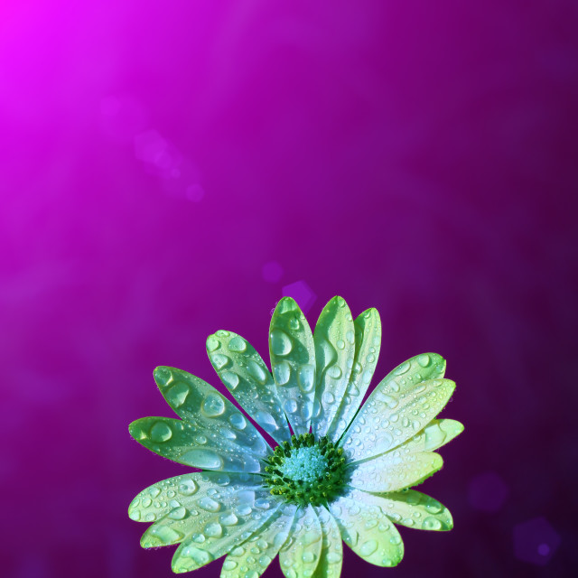 """Water drops on petals"" stock image"
