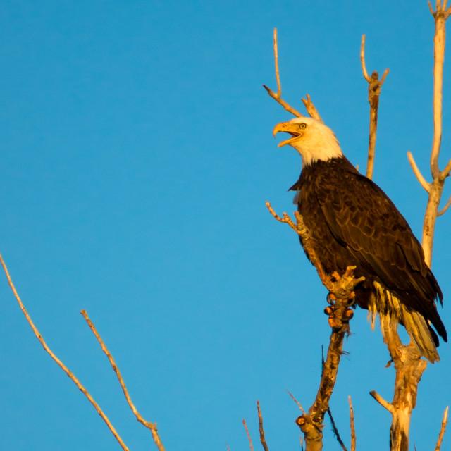 """Bald Eagle In Sunlight"" stock image"