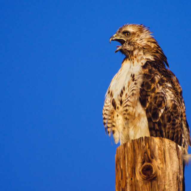 """""""Cry Of A Hawk"""" stock image"""