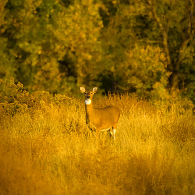 """""""White Tail In Sunlight II"""" stock image"""