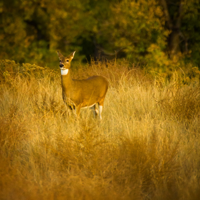 """""""White Tail In Sunlight"""" stock image"""