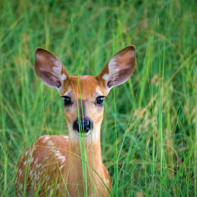"""""""White-tailed Deer Fawn In Grass"""" stock image"""