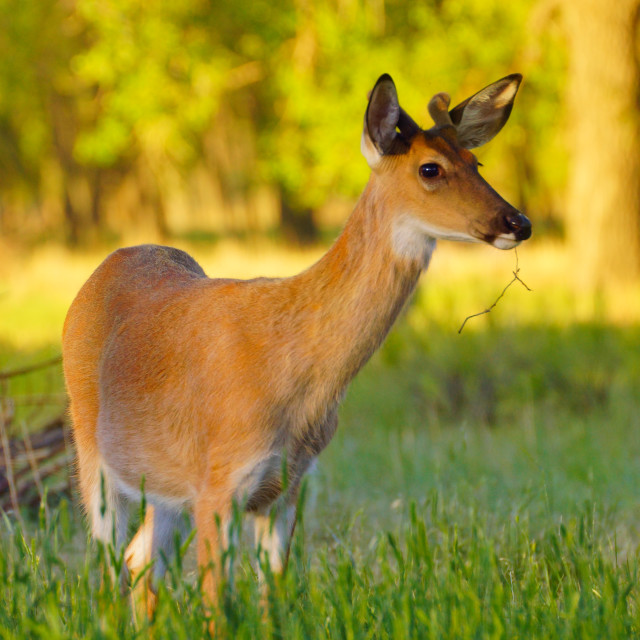 """White-tailed Deer Feeding In Sunlight III"" stock image"
