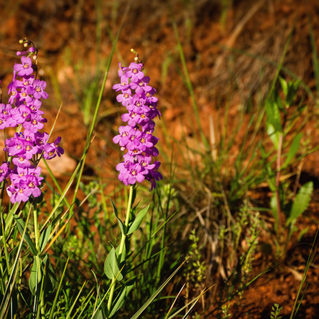"""""""Wild Orchids"""" stock image"""