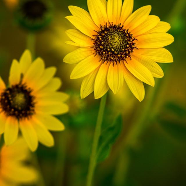 """Wild Sunflowers"" stock image"