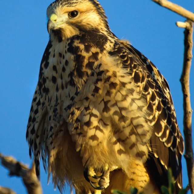 """""""Young Red Tail II"""" stock image"""