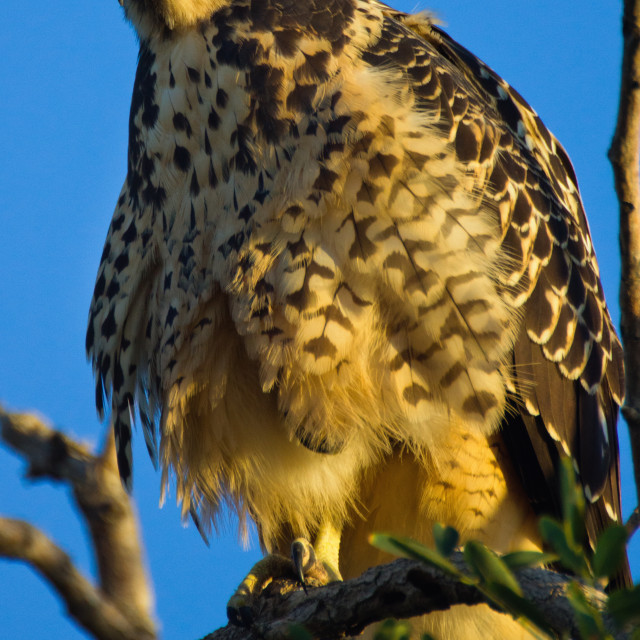 """""""Young Red Tail III"""" stock image"""