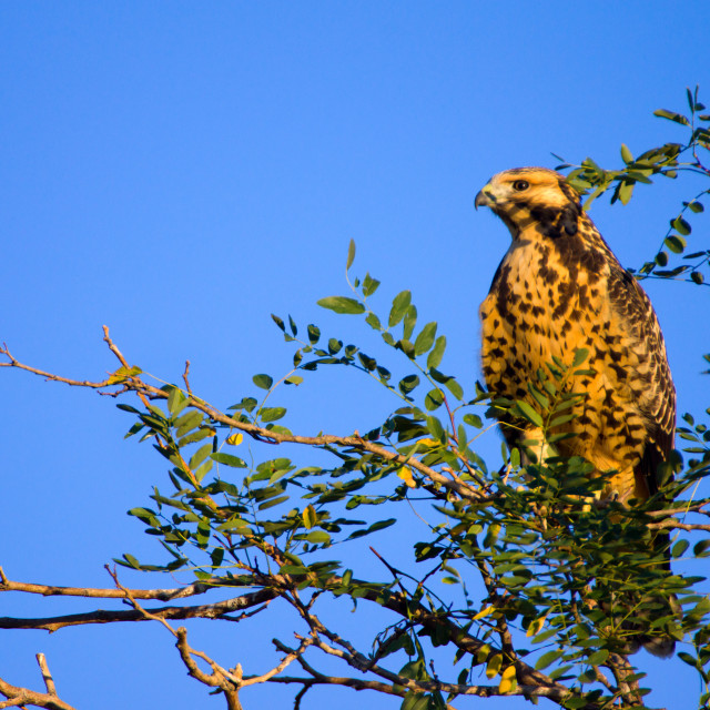 """""""Young Red Tail"""" stock image"""