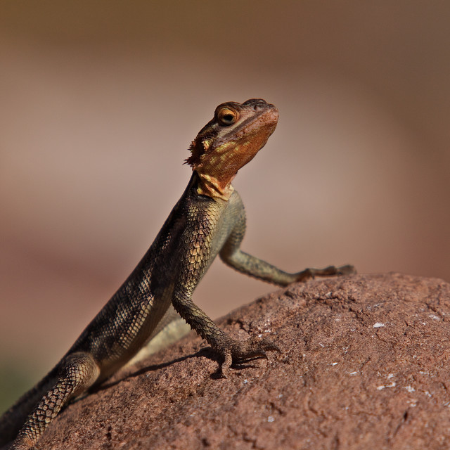 """Lizard watching attentively"" stock image"