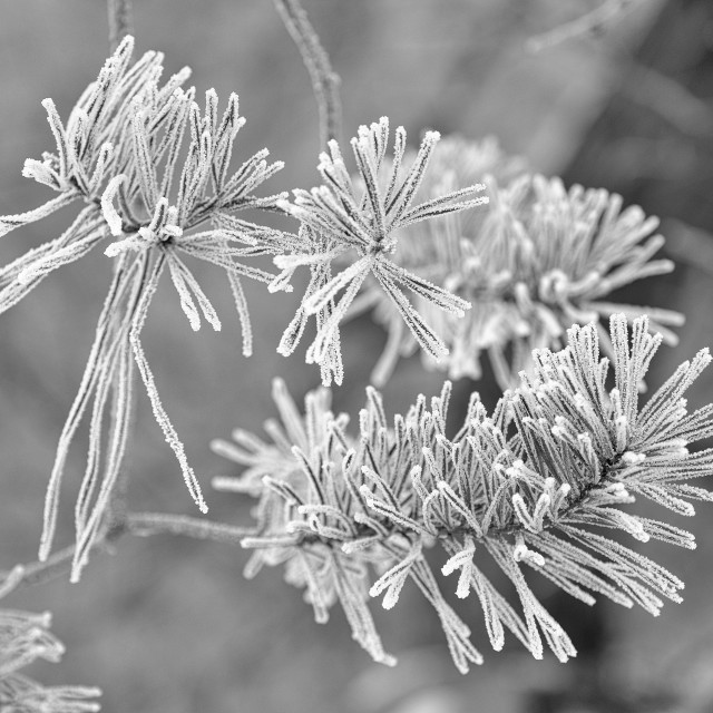 """Frozen branches"" stock image"