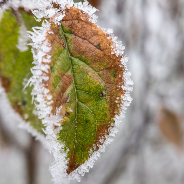 """Frozen autumn leaf"" stock image"