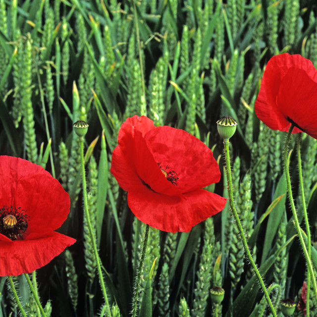 """Three poppies"" stock image"