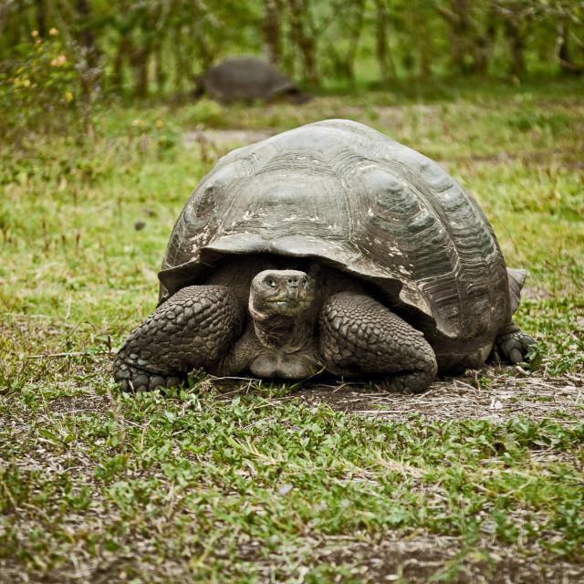 """Giant Galapagos Tortoise 8"" stock image"