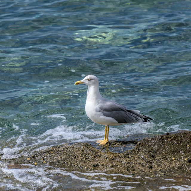 """""""Seagull standing alone"""" stock image"""