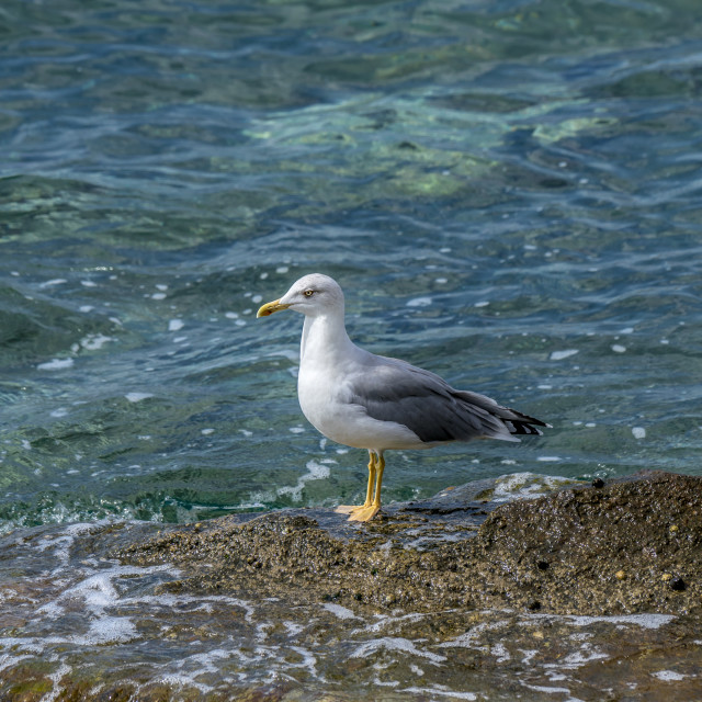 """""""Seagull standing on rocks"""" stock image"""