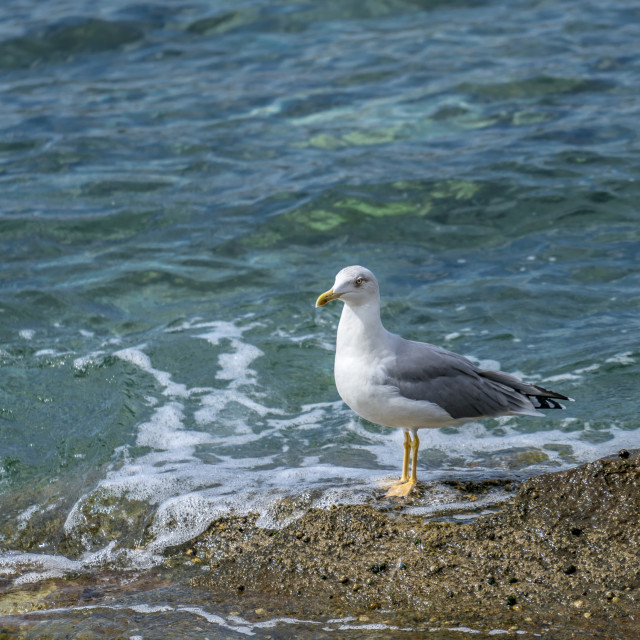 """""""Seagull standing waiting"""" stock image"""
