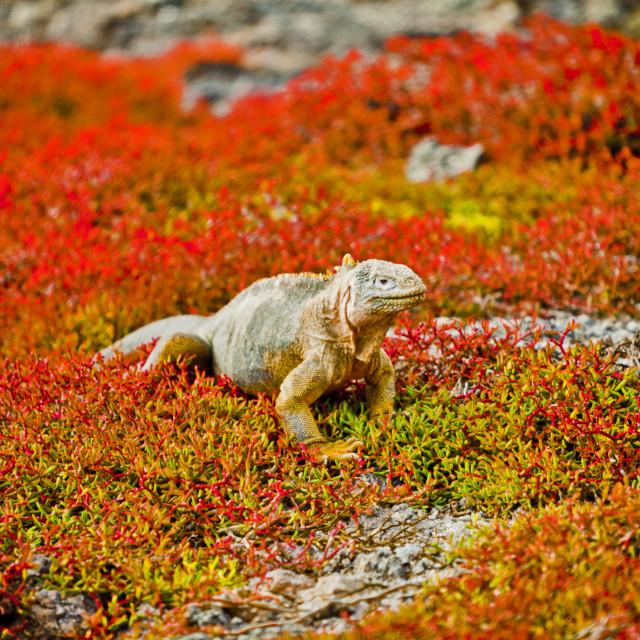 """Galapagos Iguana 1"" stock image"