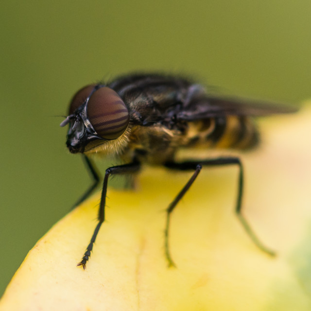 """Locust Blowfly"" stock image"