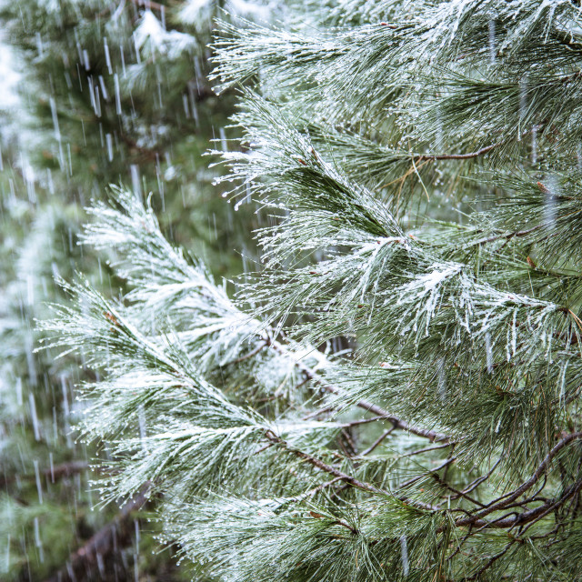 """Close up of pine branch on a snowing day. Winter background with"" stock image"