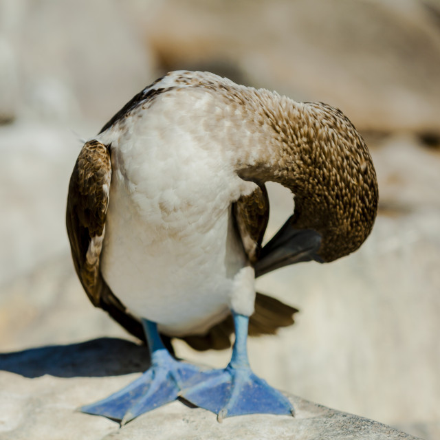"""Blue Footed Boobie Hiding"" stock image"